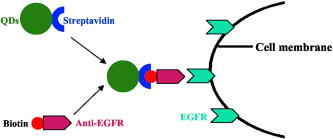 Receptor-targeted quantum dots: fluorescent probes for brain