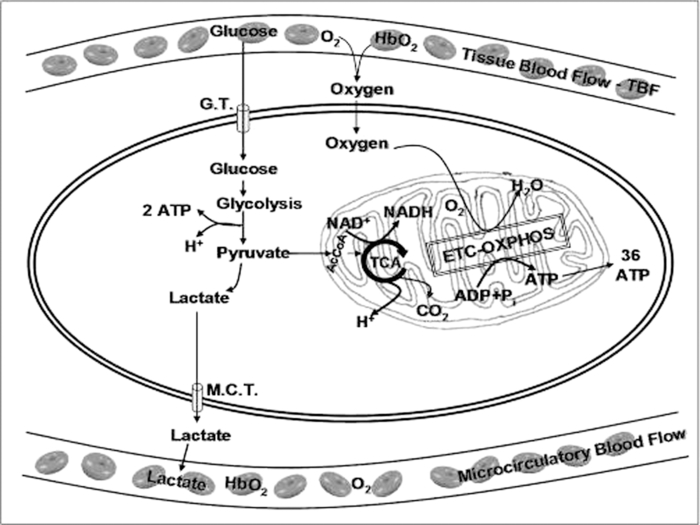 mitochondrial function and tissue vitality bench to bedside real Frame Diagram schematic presentation of tissue oxygen metabolism at the cellular and intramitochondrial level gt glucose transporter mct monocarboxylase transporter