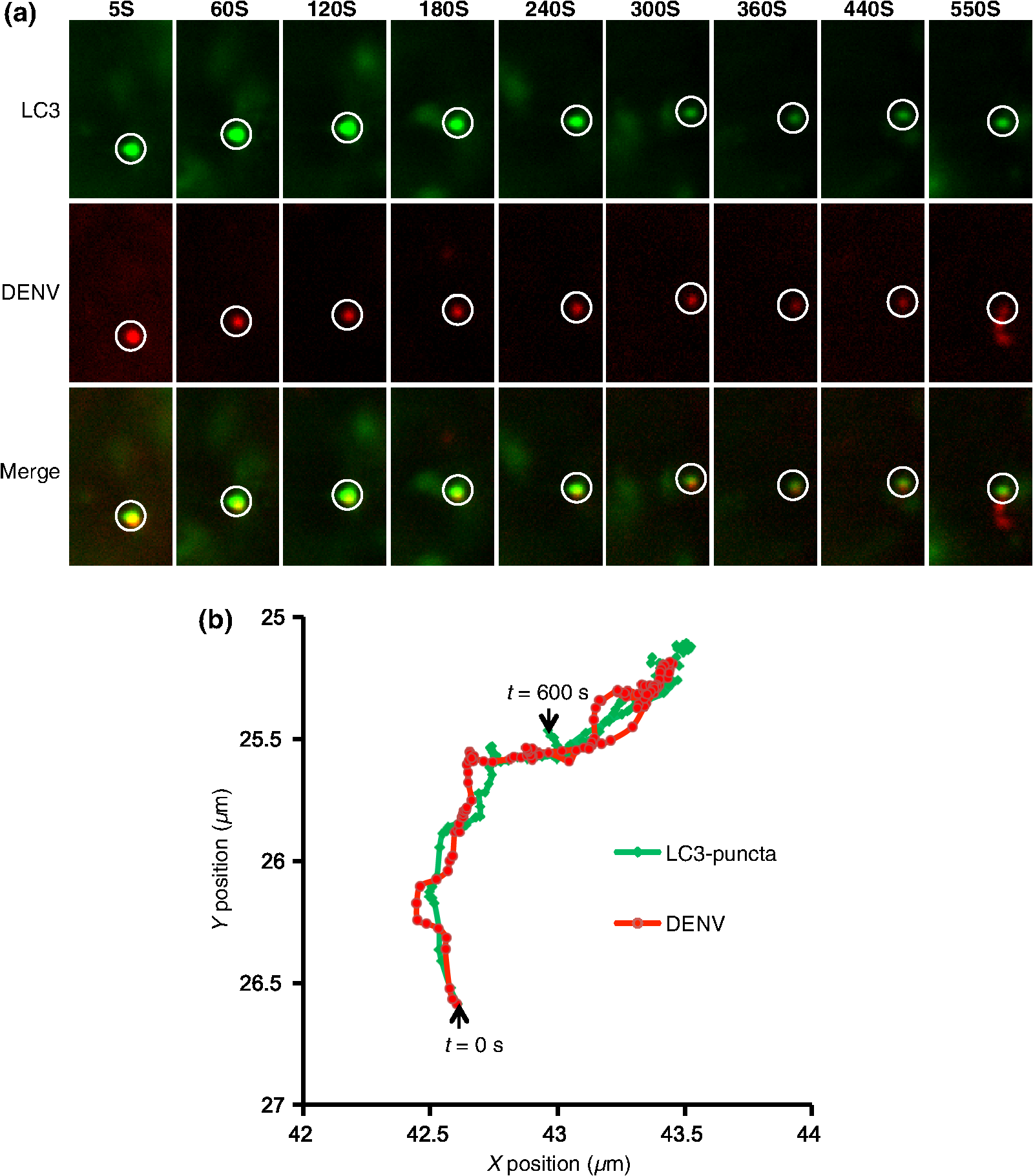 Single virus tracking approach to reveal the interaction of dengue jbo191011018f005g falaconquin