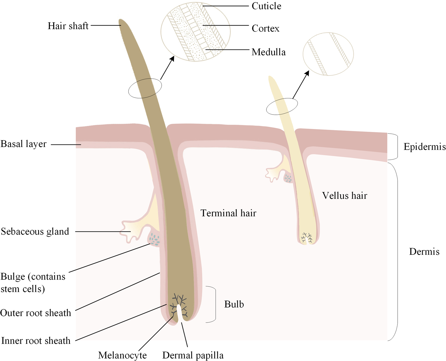 Review Of Human Hair Optical Properties In Possible Relation To Block Diagram Ebooks Schematic Skin Layers Containing Terminal And Vellus Follicle