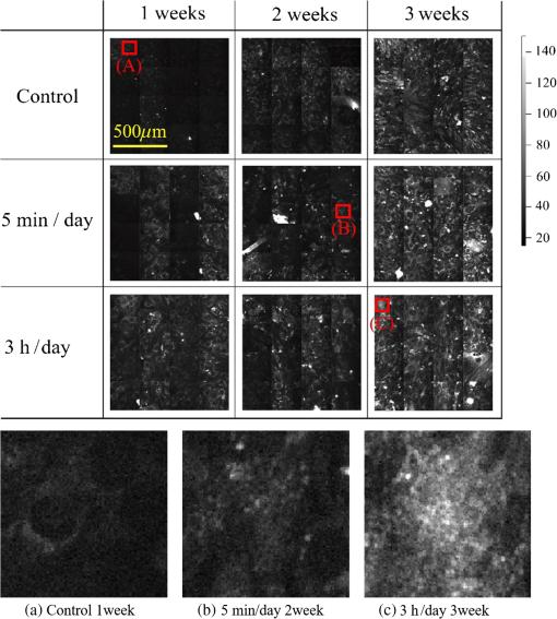 Quantitative in situ time-series evaluation of osteoblastic