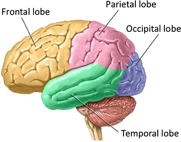 Modern Pictures Of The Brain Labeled Ideas - Anatomy And Physiology ...