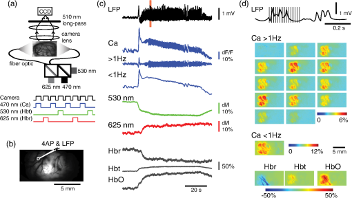 Wide-field in vivo neocortical calcium dye imaging using a