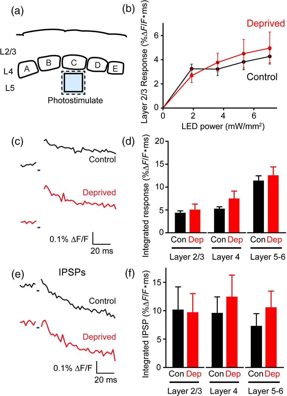 All Optical Mapping Of Barrel Cortex Circuits Based On Simultaneous Led Light Organ Circuit Diagram Lab Integrated Compound Ipsp Responses At Various Layers Were From 118 To 514 Ms After The Onset Flash