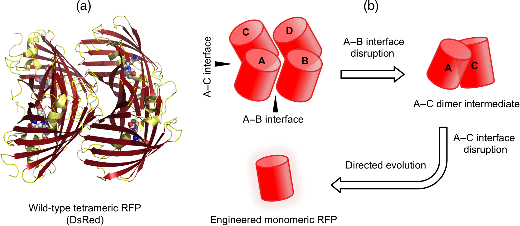 Red fluorescent proteins (RFPs) and RFP-based biosensors for