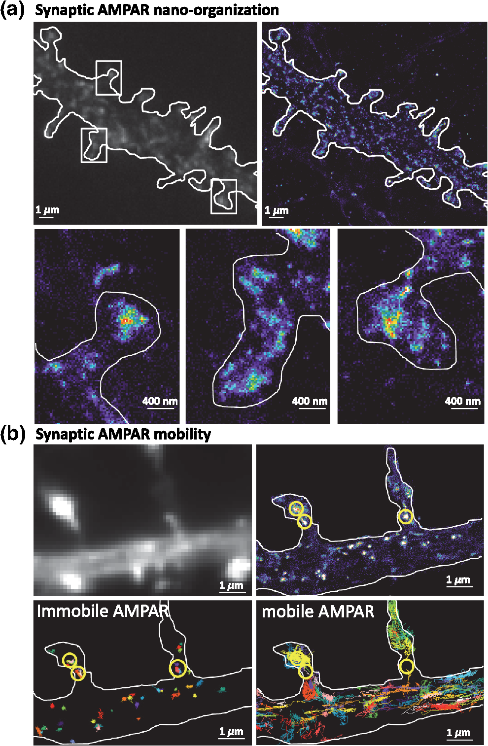 Review on the role of ampa receptor nano organization and dynamic in nph34041811f003g fandeluxe Images
