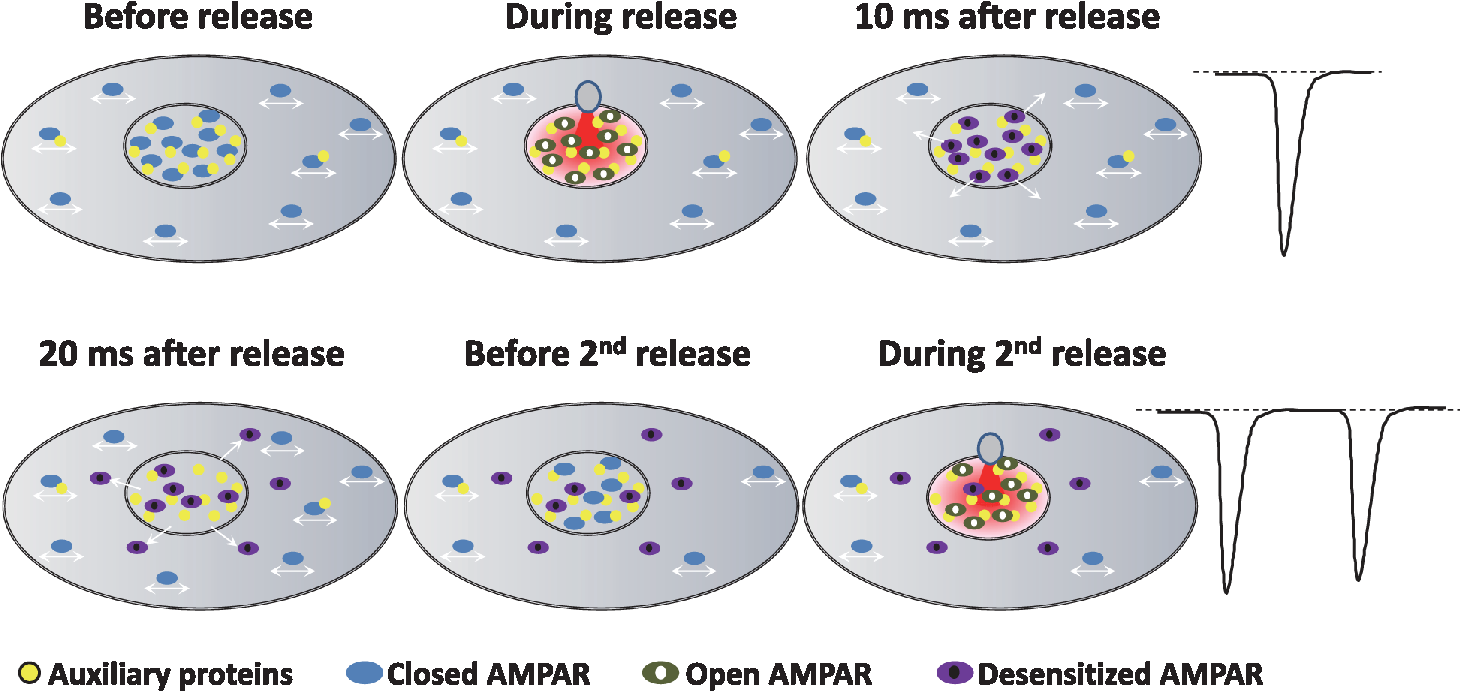 Review on the role of ampa receptor nano organization and dynamic nph34041811f004g fandeluxe Image collections