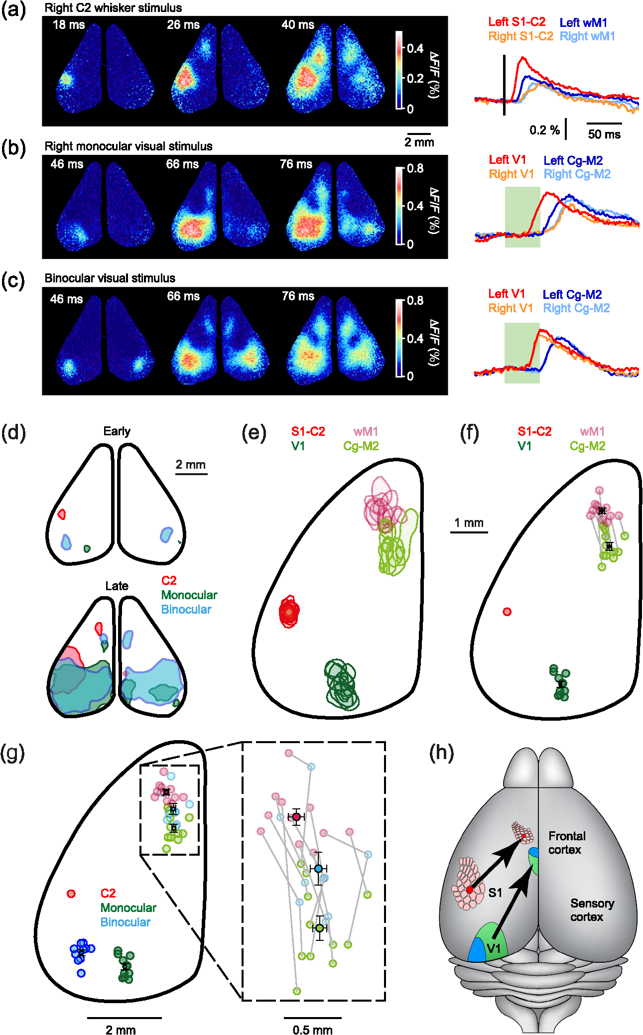 Parallel pathways from whisker and visual sensory cortices to ...