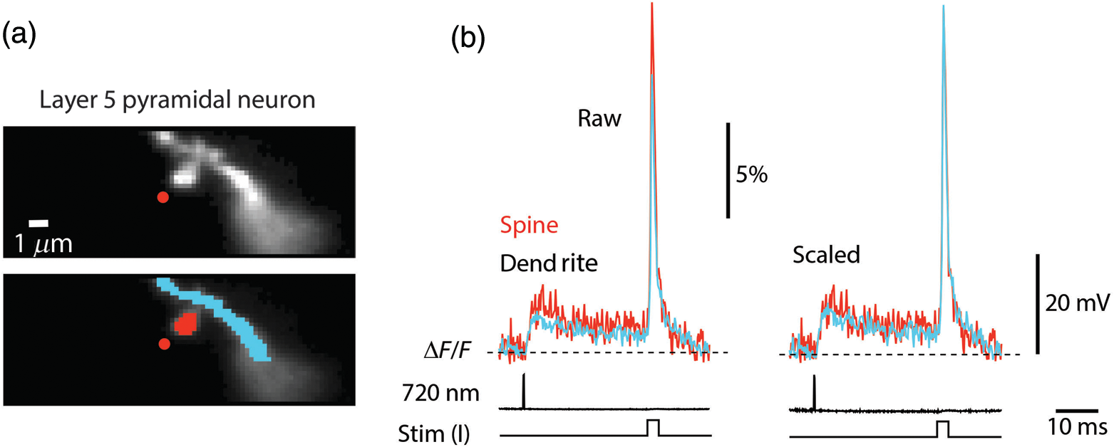 Imaging membrane potential changes from dendritic spines