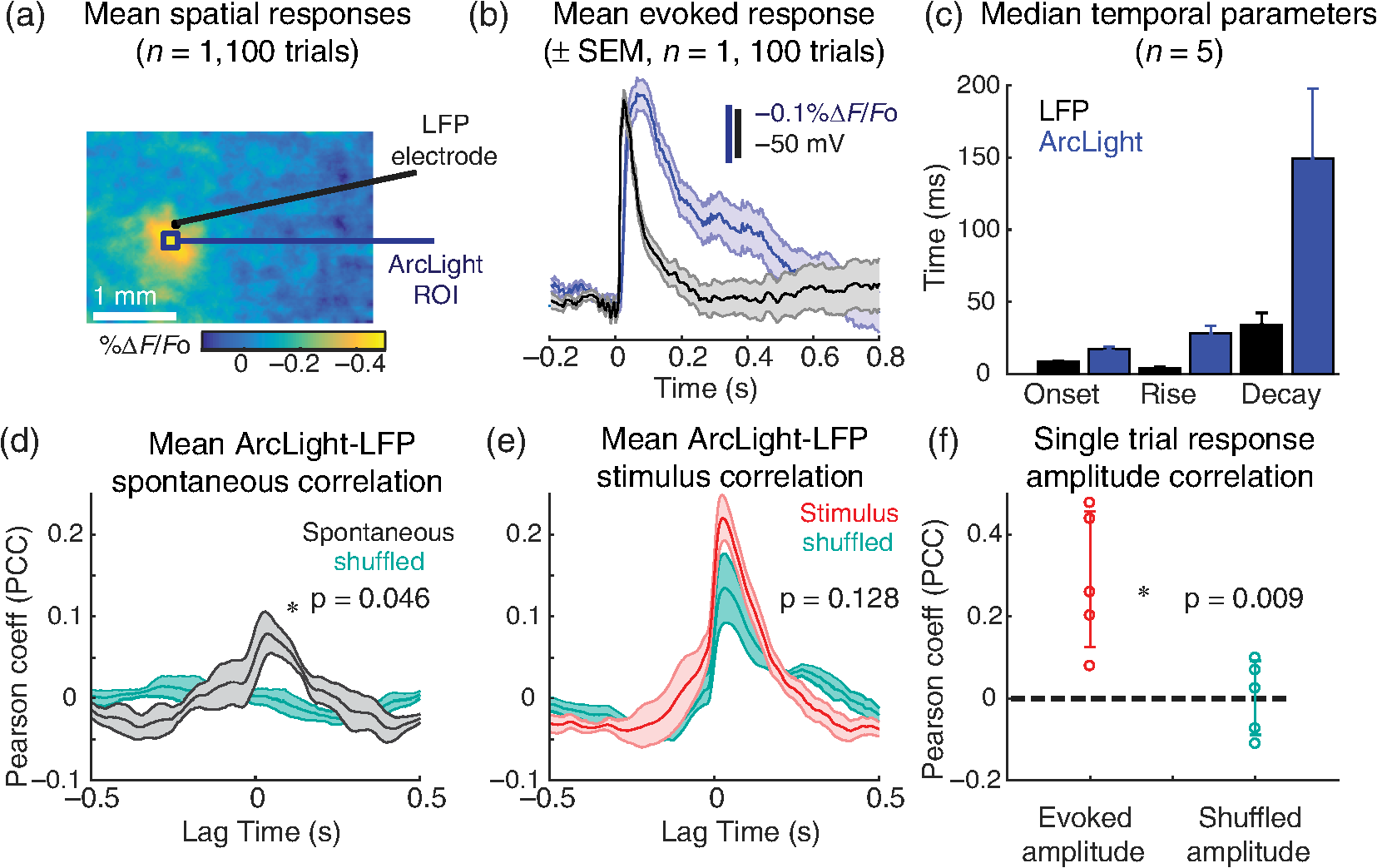 Genetically expressed voltage sensor ArcLight for imaging large