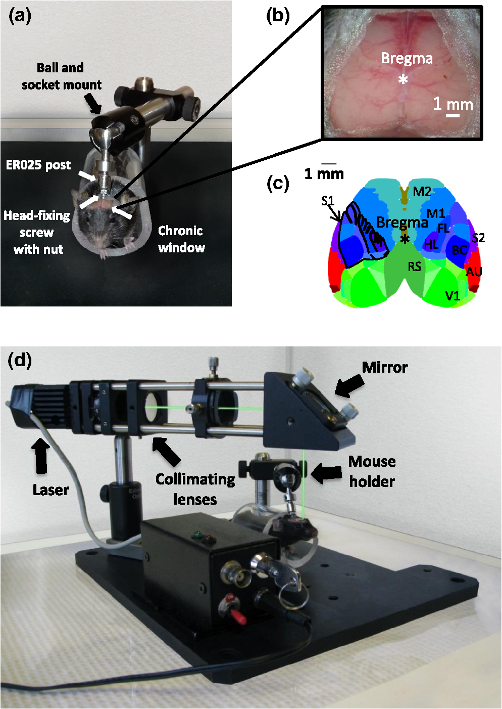 Targeted ischemic stroke induction and mesoscopic imaging