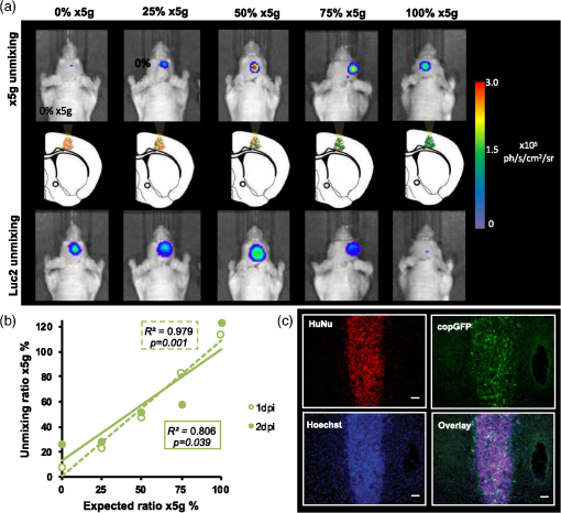 Quantitative in vivo dual-color bioluminescence imaging in