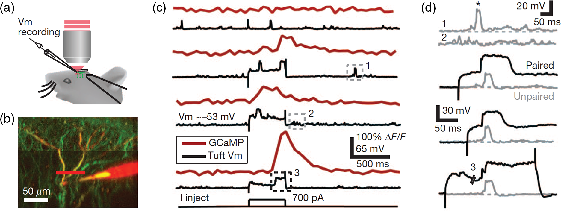 Interpreting in vivo calcium signals from neuronal cell bodies