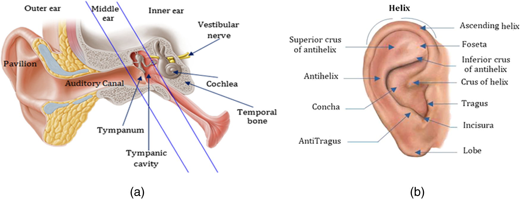 Experiments and improvements of ear recognition based on local ...