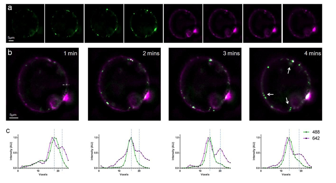 Imaging galectin-3 dependent endocytosis with lattice light