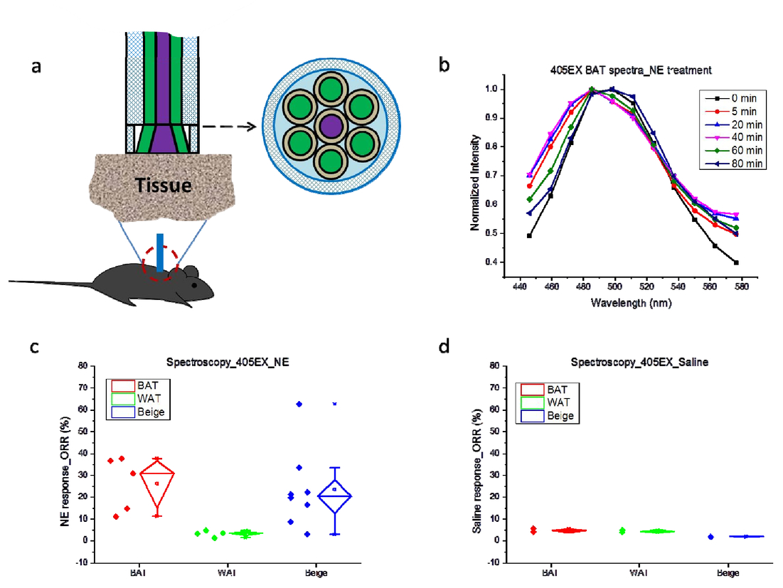 Integrated SRS and fluorescence imaging for study of thermogenesis