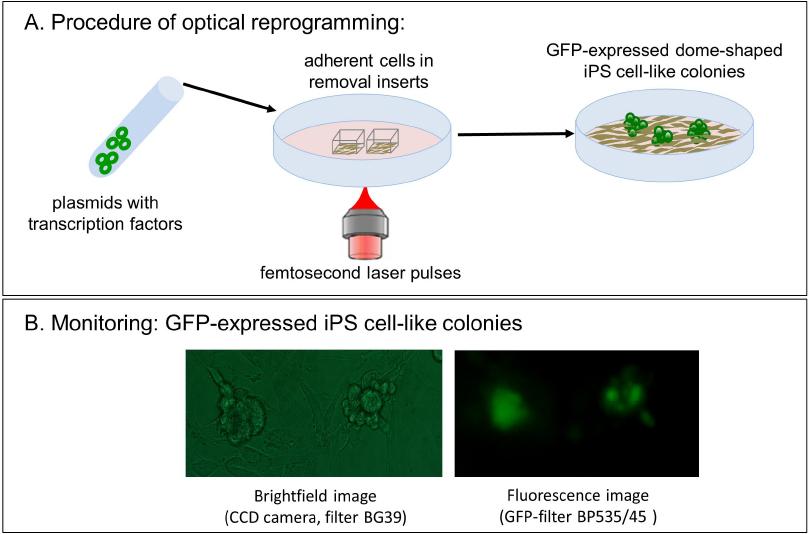 Optical reprogramming with ultrashort femtosecond laser pulses