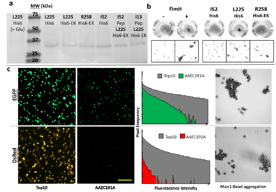 Investigation of engineered bacterial adhesins for